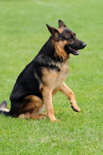 Why Your German Shepherd Licks You And How To Stop It