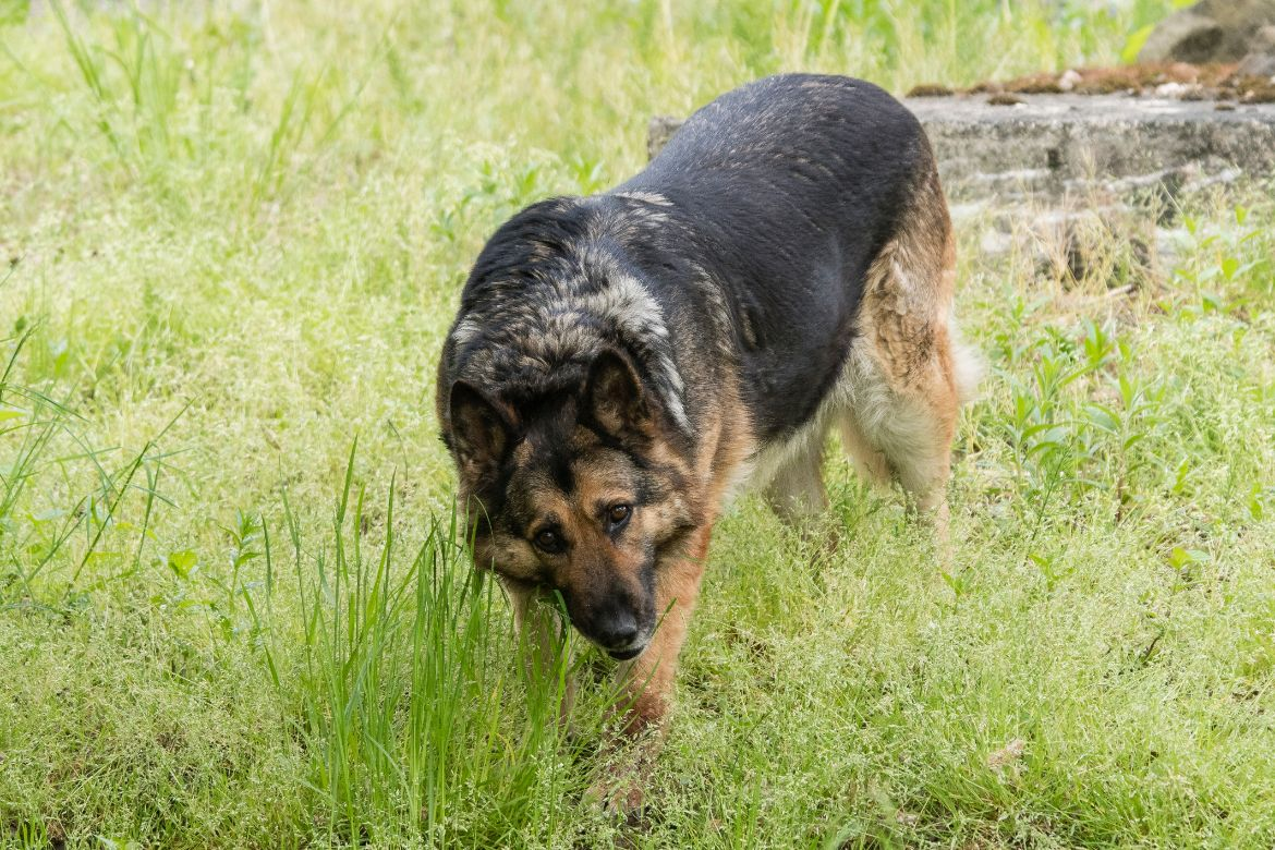 Why Your German Shepherd Eats Grass And How To Stop It