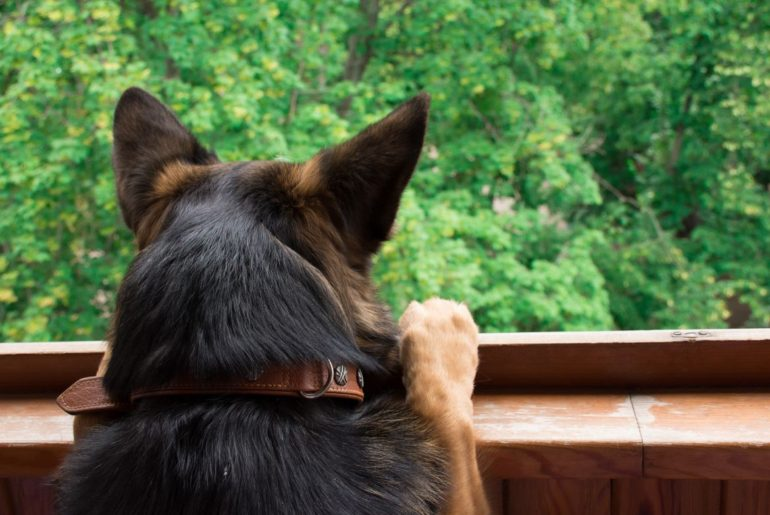German Shepherd looking out window