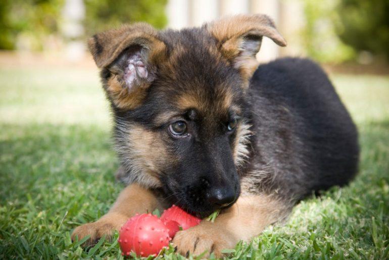 German Shepherd with toy