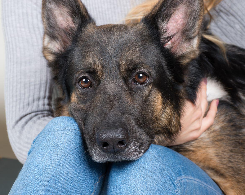 Why Does My German Shepherd Sit On My Lap