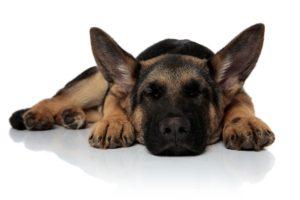 Sleeping German Shepherd