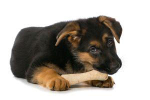 German Shepherd laying down eating bone