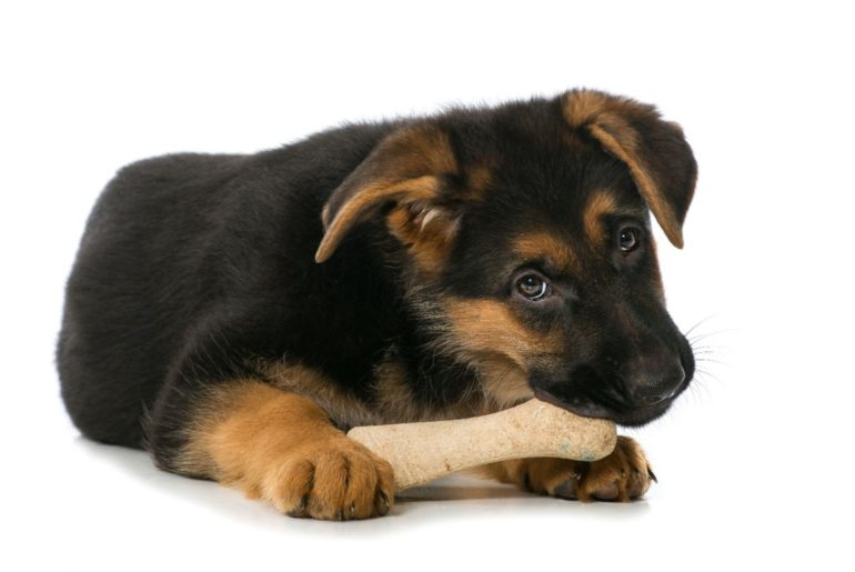 German Shepherd laying down eating bone