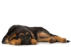 Sleeping German Shepherd puppy