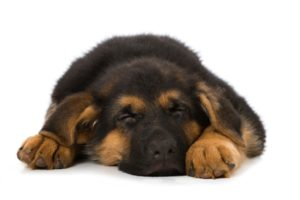 Sleeping German Shepherd puppy