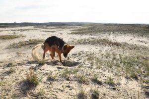 German Shepherd digging