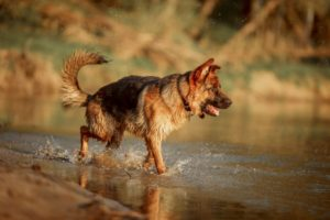 German Shepherd in water