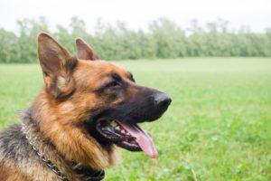 Happy German Shepherd