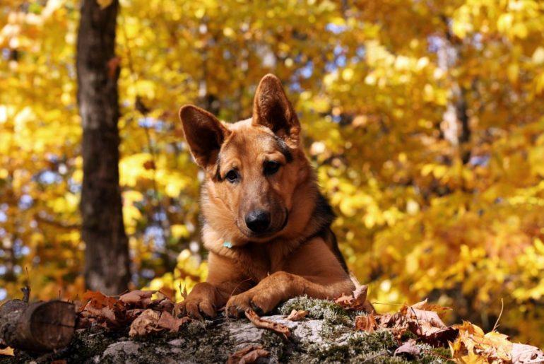 German Shepherd looking down