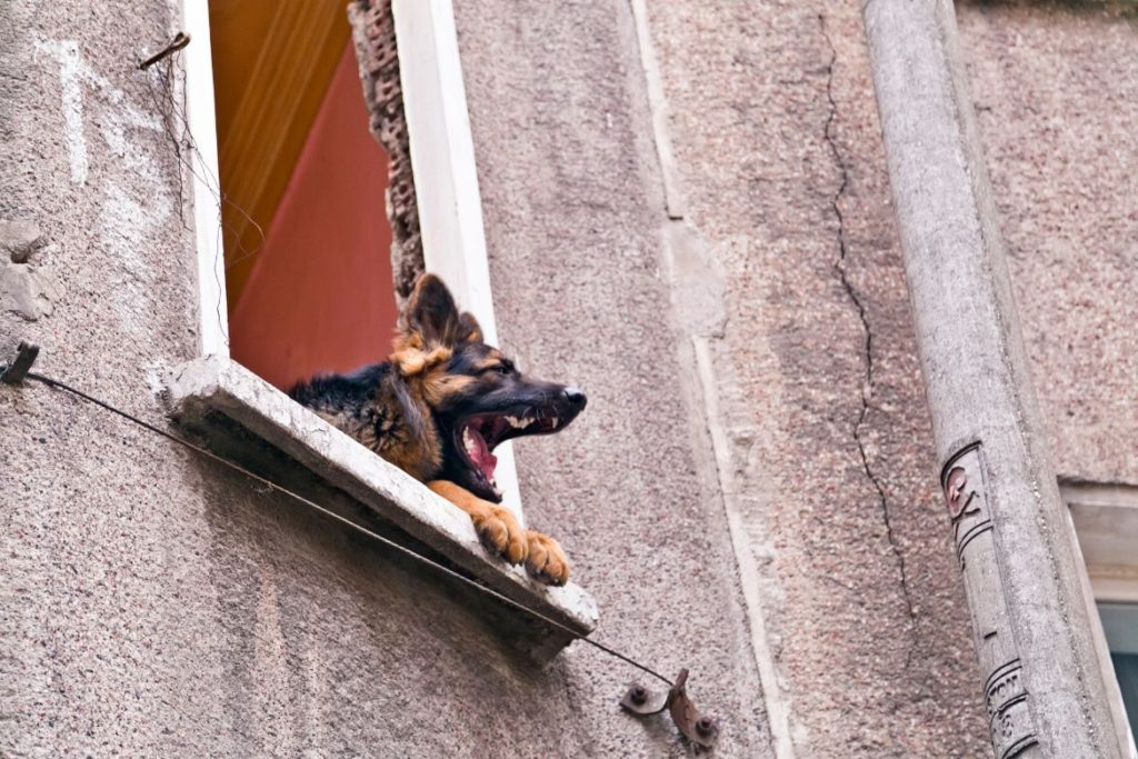 German Shepherd barking out window