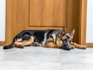German Shepherd by door