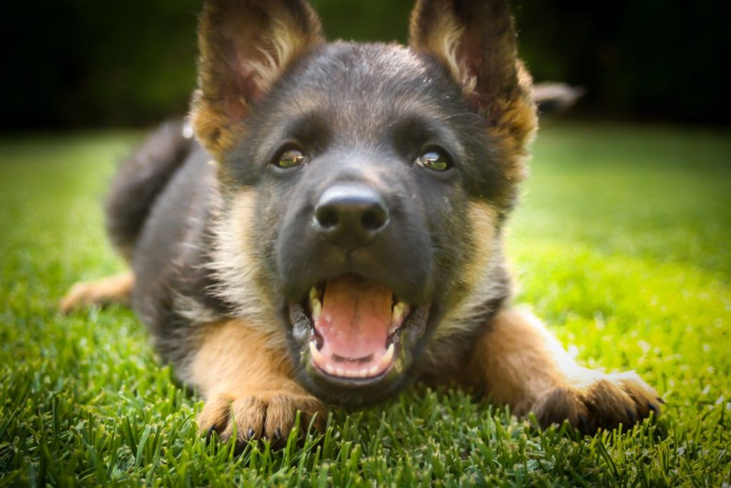 German Shepherd puppy barking