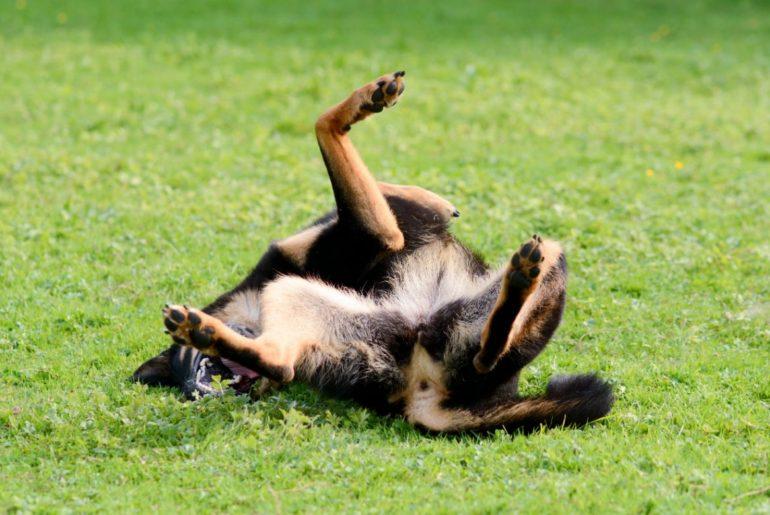 German Shepherd rolling in grass