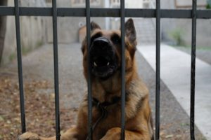 German Shepherd by fence
