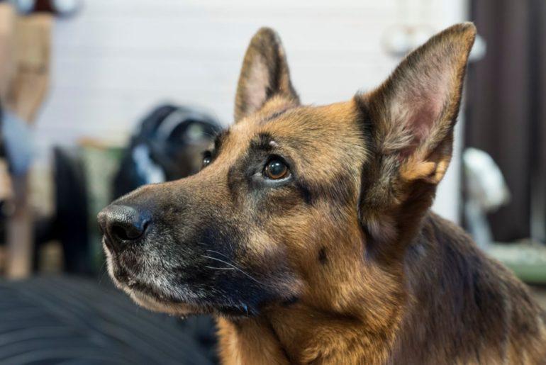 Anxious German Shepherd