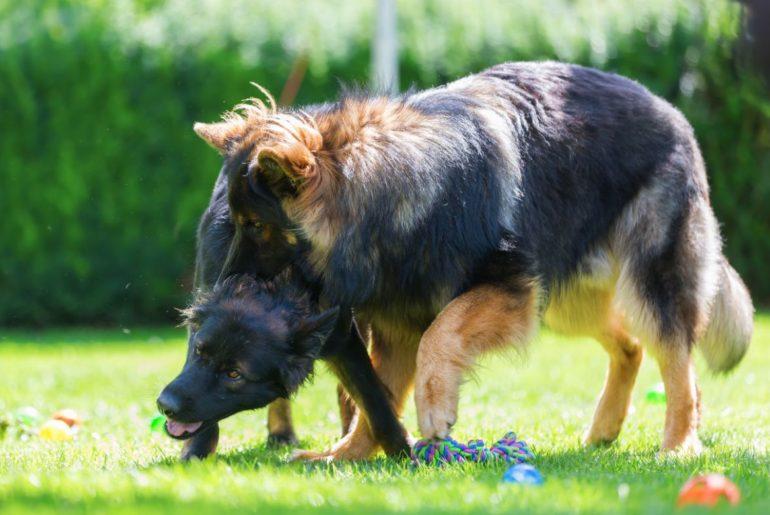 German Shepherd fighting with dog