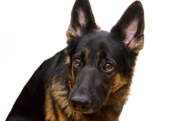 Afraid German Shepherd