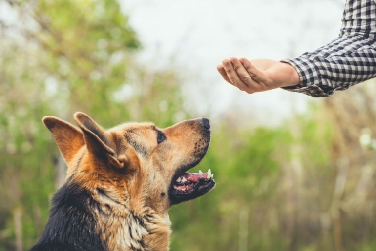 Training German Shepherd