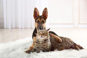 German Shepherd with cat