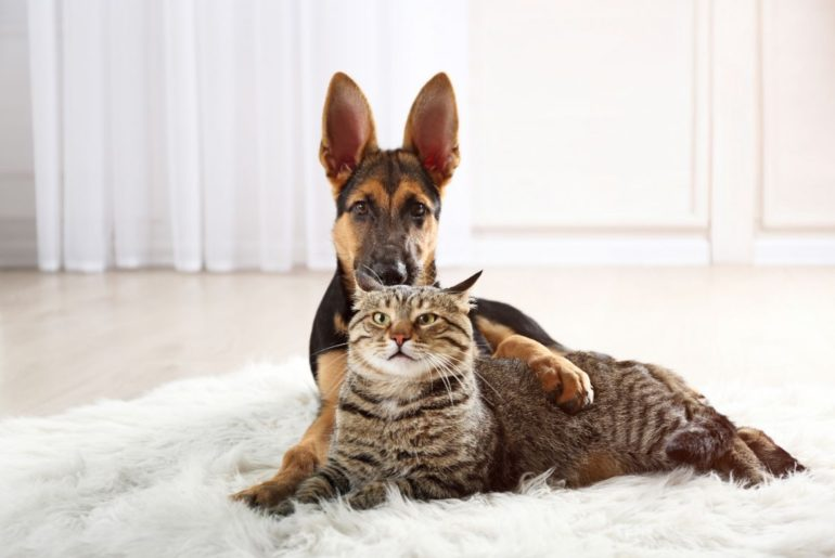 German Shepherd with cat