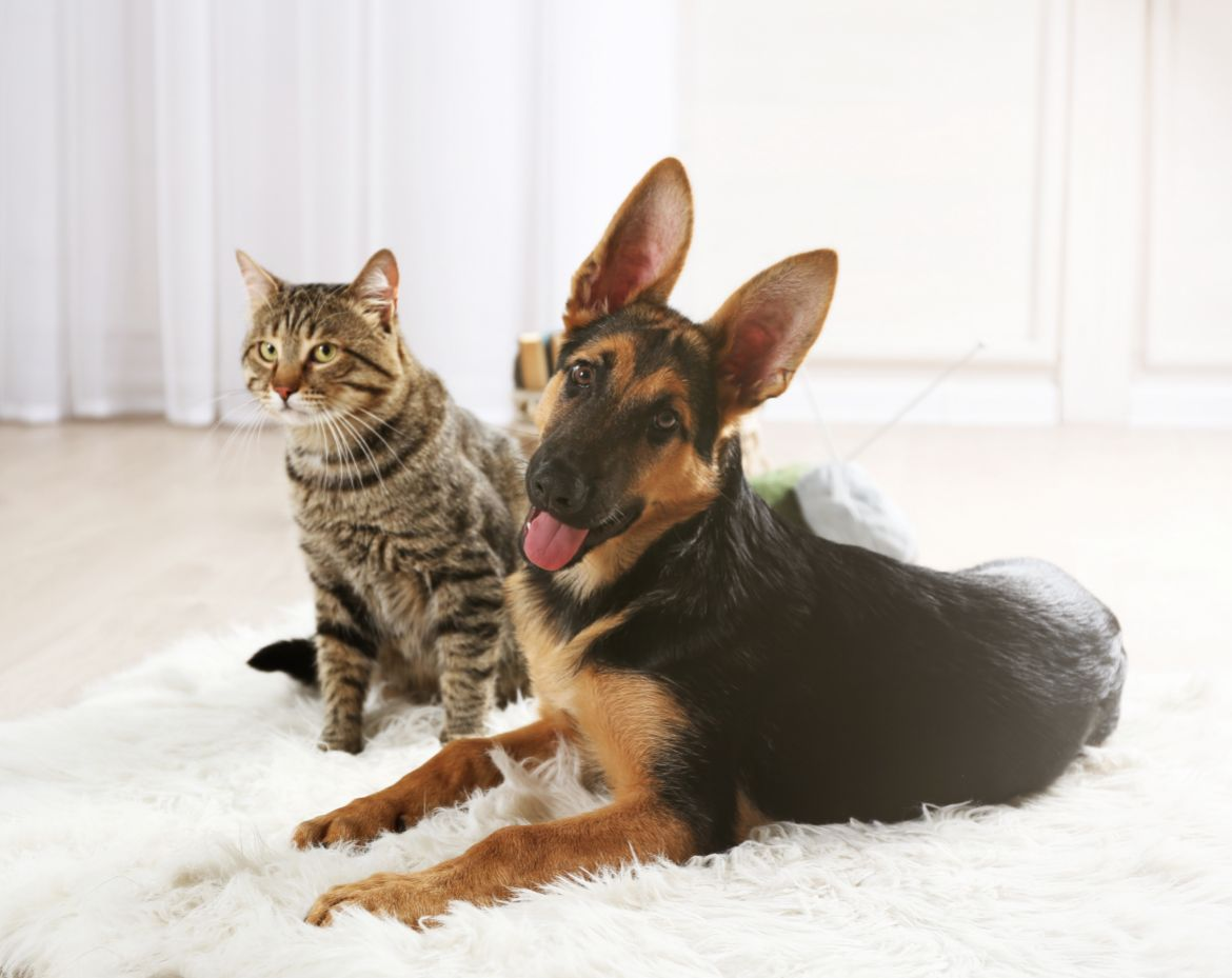 Why is my German Shepherd obsessed with my cat?