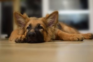 Sleepy German Shepherd